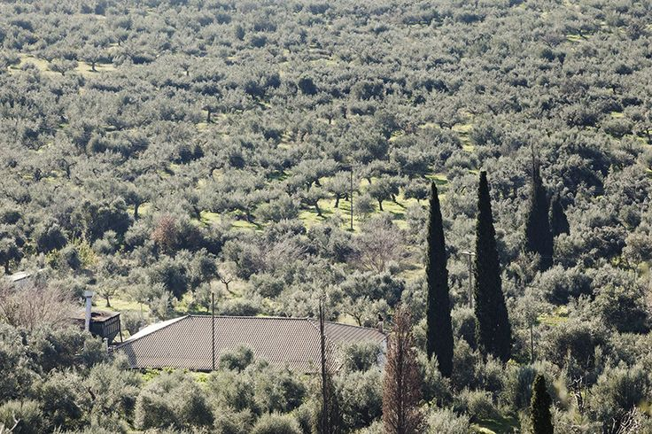 In the middle of a sea of olive trees our Olive Mill! - Andelea Estate Premium Extra Virgin Olive Oil