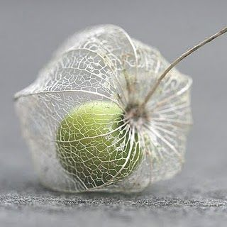 Physalis / Cape Gooseberry | WendyMerle via flickr