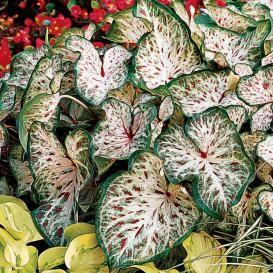 Caladium Bulbs For Sale | Buy Flower Bulbs in Bulk & Save