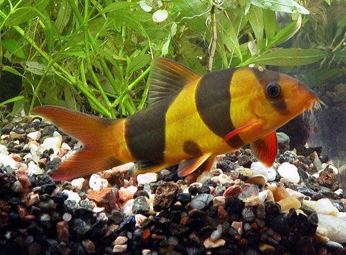 12 best peces de acuario images on pinterest aquarium for Methylene blue fish