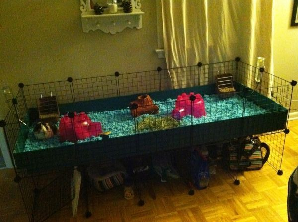 88 best images about guinea pig on pinterest cavy for Buy guinea pig cage