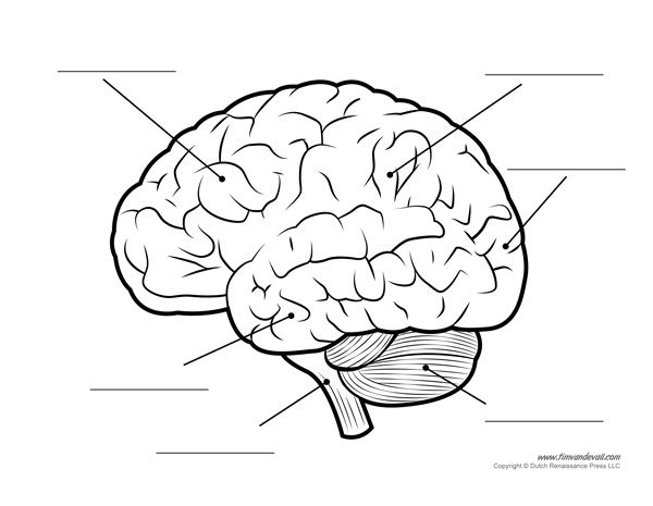 human brain diagram  u2013 labeled  unlabled  and blank