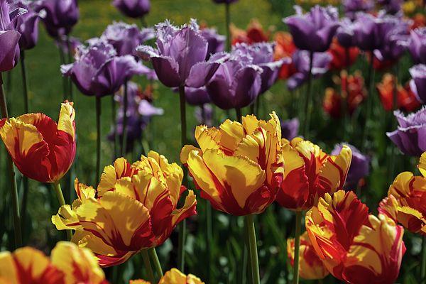 Tulips by Alexander Cherevan  #AlexanderCherevanFineArtPhotography #ArtForHome #FineArtPrints #tulips