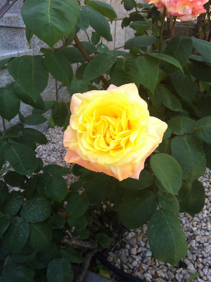 La vida es como una rosa...con espinas, pero hermosa #vive #observa #alégrate #rosa #mijardín