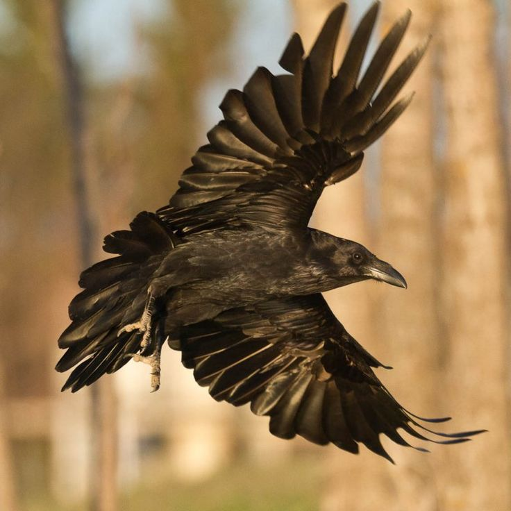 Common Ravens (Corvus Corax) Photo Gallery by Paul Lantz at pbase.