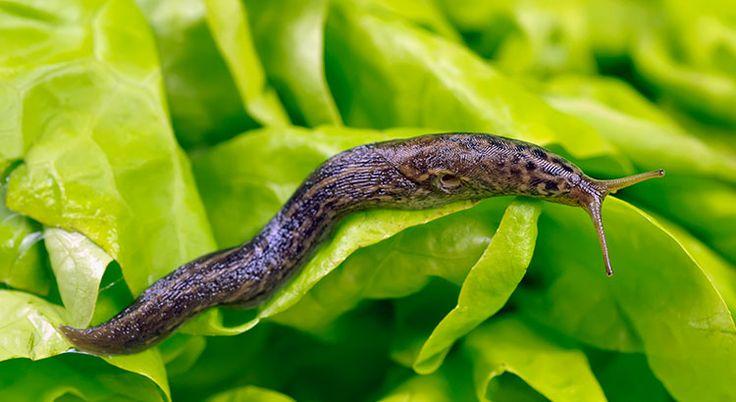 Découvrez dès maintenant une astuce écologique pour prévenir les futures invasions de limaces cet été. Un seul geste pour de belles récoltes !