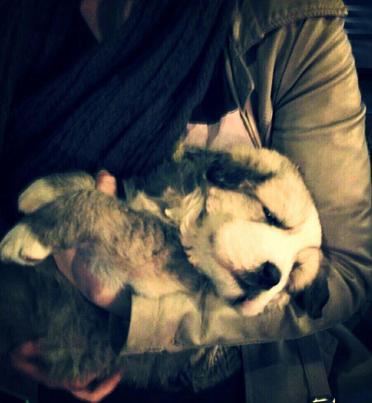 Furia - 4 weeks caucasian ovcharka
