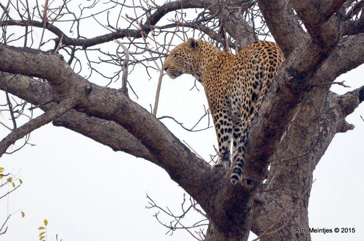 https://flic.kr/p/uKYfnC | DSC_3303 | Leopard in tree