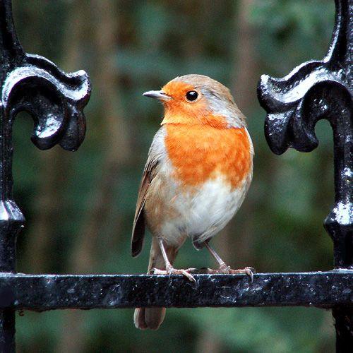 Le rouge-gorge, un oiseau quantique Dès lors que l'on peut conférer un état intriqué à des solides grands et chauds, on peut s'interroger sur la possibilité de constater l'intrication quantique chez un être vivant ! Revoilà le spectre du chat de Schrödinger…