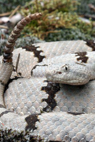 Banded Rock Rattlesnake (Crotalus lepidus klauberi) #snake #reptile #nature