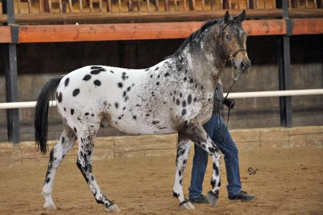 17 Best images about patterns - appaloosa - leopard and ...