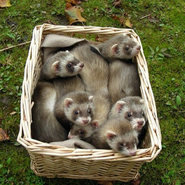 A warm fluffy basket of baby ferrets!