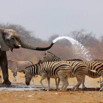 I saw the picture before, they thought he was threatening the zebras but he was giving them a cool shower to help.