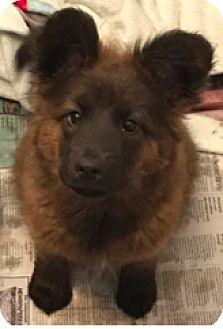 Denver, CO - Australian Shepherd Mix. Meet Eva, a dog for adoption. http://www.adoptapet.com/pet/18440696-denver-colorado-australian-shepherd-mix