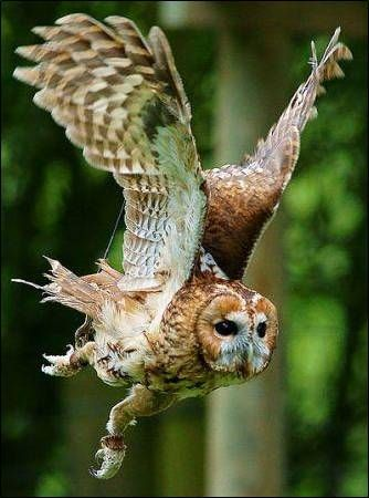 Tawny Owl, I get these where I live. In Autumn you can here them hoot as dusk falls.