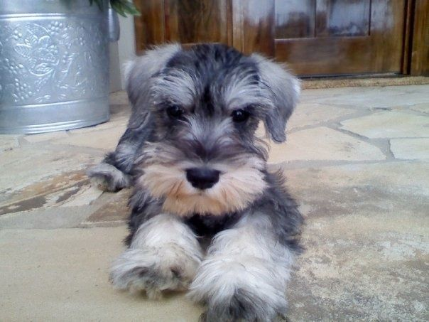 #schnauzer #dogs ...........click here to find out more http://googydog.com