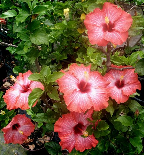 Hibiscus Care: 540 Best Images About Amapolas On Pinterest