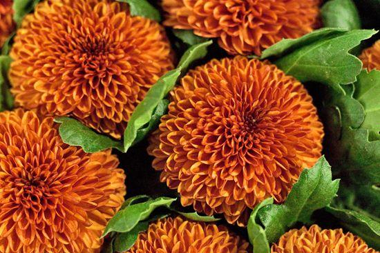 Kiev Orange Single-Headed Bloom Balloon/Pompon Chrysanthemums at New Covent Garden Flower Market