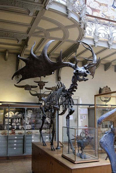 The legendary Irish Elk, Megaloceros giganteus, is represented by this superb specimen.