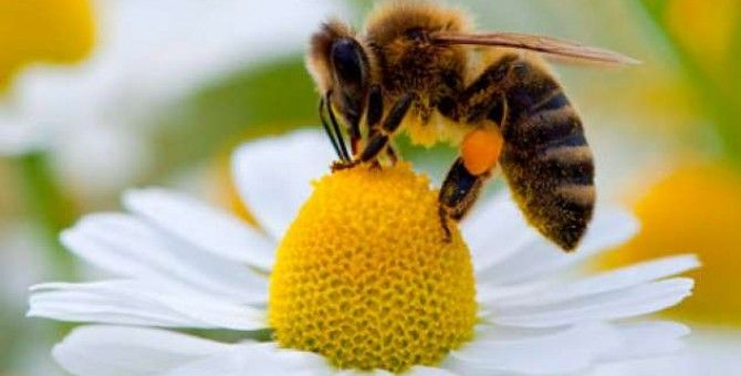 The disappearance of bees would also deprive humanity