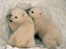 Kutup Ayıları Neden Üşümez?