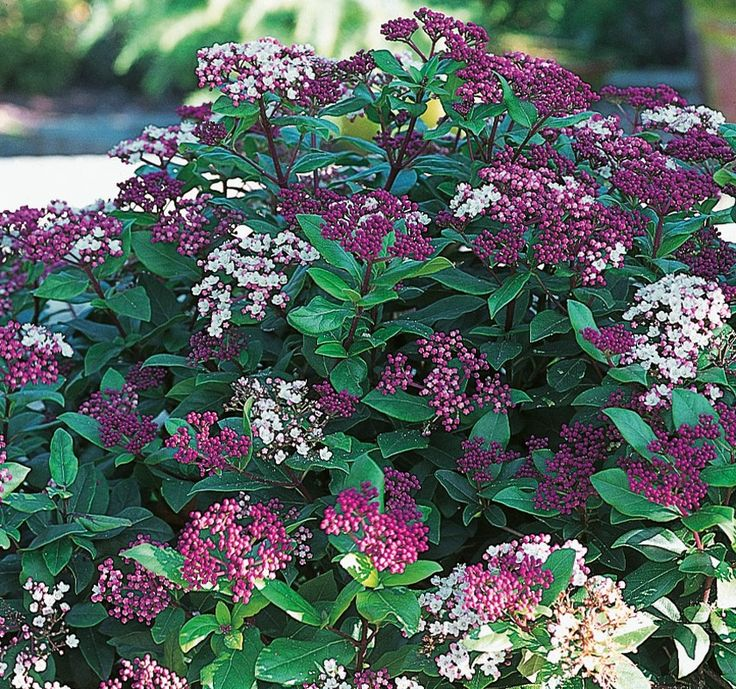 Laurier tin plantes jardin pinterest gardens for Laurier tin gwenllian