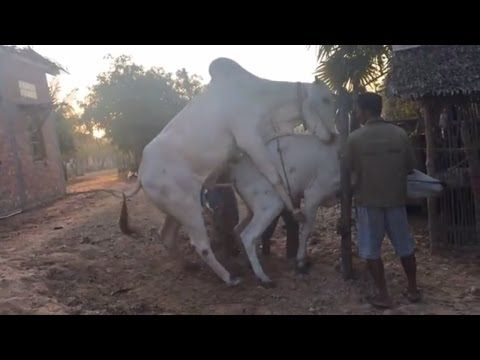 Strong Ox Mating with small Cow -  the real the cruel bull cow mating - YouTube
