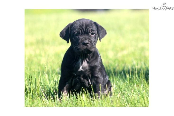 Meet Nitro a cute Cane Corso Mastiff puppy for sale for $995. Nitro - Cane Corso Male