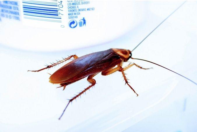 Ha Ocurrido Un Error Repelente De Cucarachas Eliminar Cucarachas Pequeñas Repelente De Insectos Casero