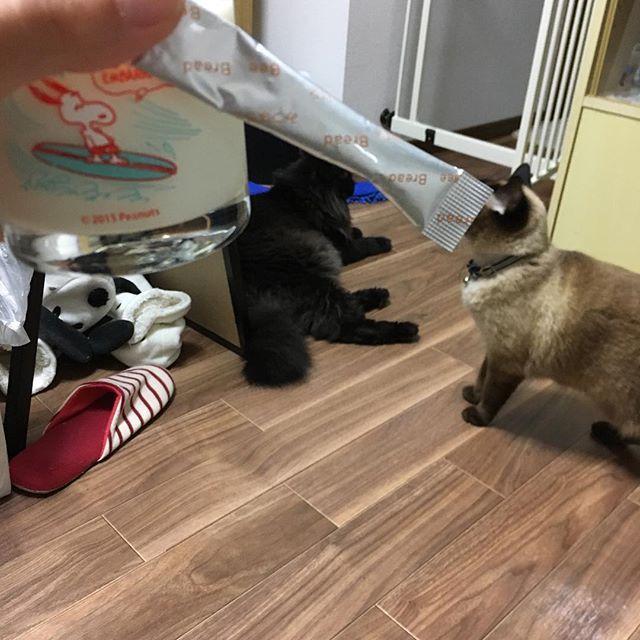 . 今日は銀とこたでこんばんわ! . そして今日は、かるぎゅー♡ 毎日カルピス、牛乳飲むから 骨も強くなる💪 今、旦那と毎日のよに筋トレしてるから カルピスも牛乳もみつばちさんも いいたんぱく質♡ ありがとうございますm(_ _)m . みつばちさんは、 良質なタンパク! . ダイエットしてる人も、みつばちさんを飲むといいらしい♪ #筋トレ #肉体改造 #豆知識 ♡ . #宮崎 #24歳 #産後 #猫アレルギー #愛猫 #黒猫 #銀ちゃん #ヘルシーカンパニー21c  #みつばちのパン #体験談 #ビーポーレン #みつばちの花粉 #抗アレルギー作用 #健康保持 #みつばちさんありがとう 🙇♀️ #カルピス #牛乳 #かるぎゅー #タンパク質 #ダイエット #効果的 #良質なタンパク質  #姉の猫 #こた やっぱり…#シャー #言うわ w #銀こた