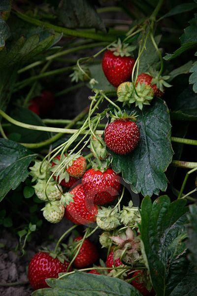 fraises des bois: