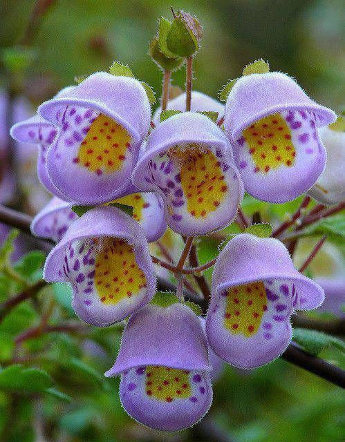 Jovellana violacea - an unusual rarity from Chile! These sprightly blooms appear by the hundreds throughout Spring. The fingernail-sized blooms are light-violet with festive markings of purple, yellow & red, - no two flowers have the same pattern. A cool-climate species that may not thrive in warm climates. It is very rare in cultivation, and fresh seeds are almost never seen for sale.