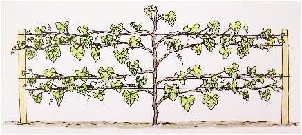 Pruning and training a grape vine images frompo - How to prune and train the grapevine ...