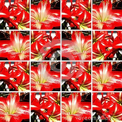 #Ornamental #background made of square shapes with red and white #Amaryllis #flowers