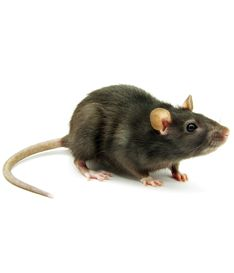 Perth Pest Control can remove your unwanted Rodents. Whether this be mice or rats, BP Pest Control are here to help. We offer full services for removal of nests, so no more damage will be caused.