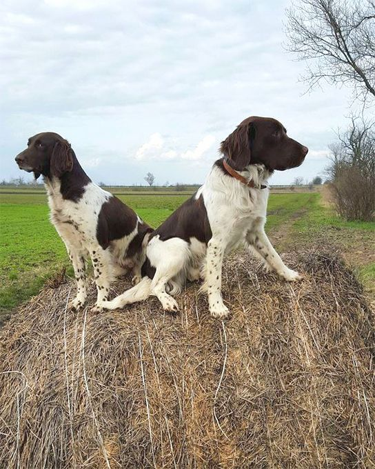 Small Munsterlander Pointer Dog Breed Information, Pictures, Characteristics & Facts - Dogtime