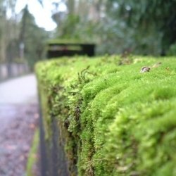 Moss Can Be A Filler On Top Of A Potted Plant, It Can Be A Little Accent In  A Garden, Or A Lush, Full Fledged Replacement For A Lawn. To Some.