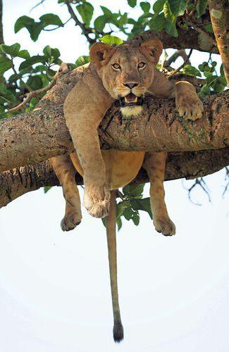 En Ouganda, le photographe animalier Joseph Knapman, originaire d'Ecosse, a pris une série de clichés bien sympathique montrant une lionne couchée sur une branche, en pleine sieste. La scène se déroule au sein du parc national Queen Elizabeth, situé dans le sud-ouest du pays.