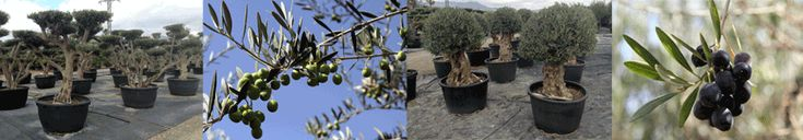 Growing olive trees, with notes on olive tree care and looking after your olive tree