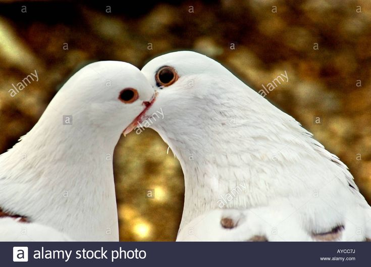 White Pigeons Stock Photos & White Pigeons Stock Images - Alamy
