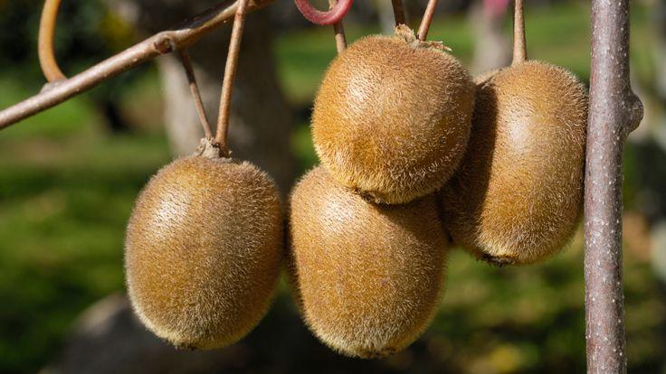 DIY fruity fungrowing your own kiwi