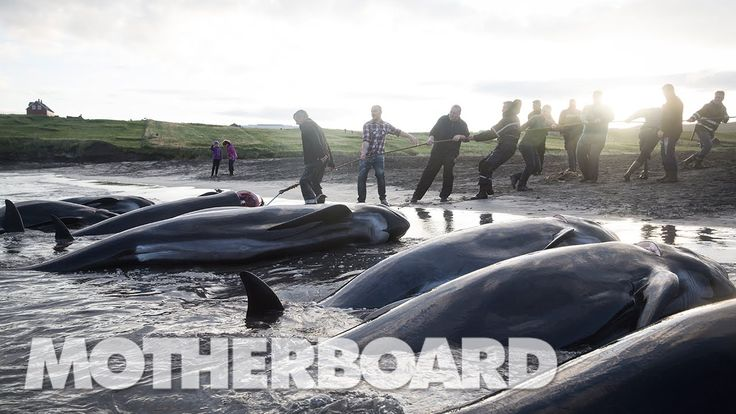 The Grind: Whaling in the Faroe Islands (Full Length) - YouTube