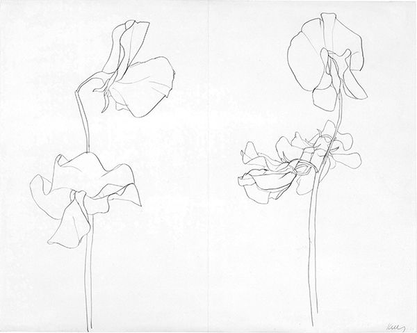 Ellsworth Kelly - Sweet Pea 1960 graphite on paper