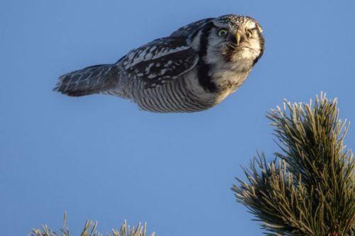どや顔で飛んでいくオナガフクロウat finland 撮影者Jani Yikangas