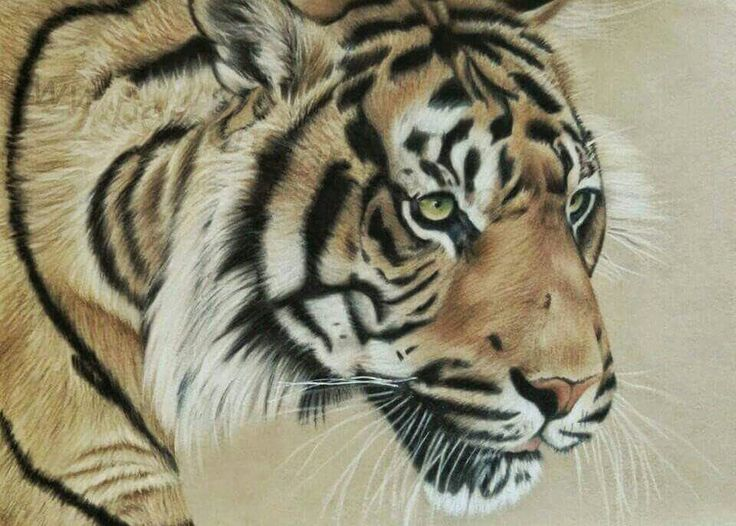 Tiger painting in soft pastels on velour paper Artwork by Katie Bowman www.personalartwork.co.uk