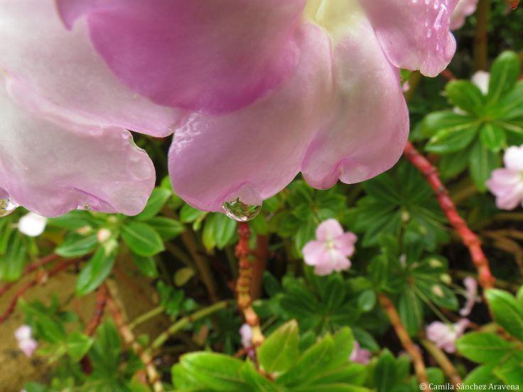 Alegría del hogar gigante rosada - Pink Impatiens