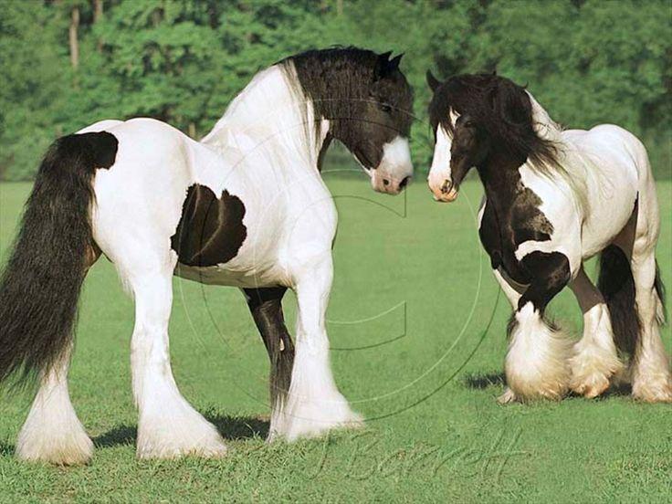 I love these! ---gypsy horses