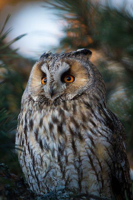 Long-eared Owl | Vesa Nieminen on Flickr