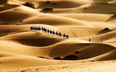 Camels in the desert wallpaper