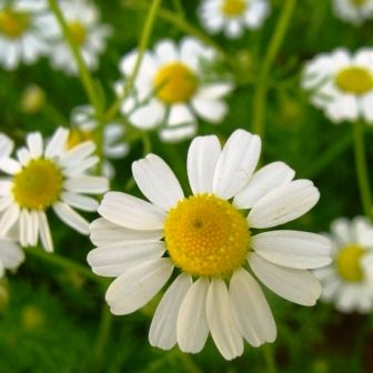 http://store.underwoodgardens.com/images/German%20Chamomile.jpg